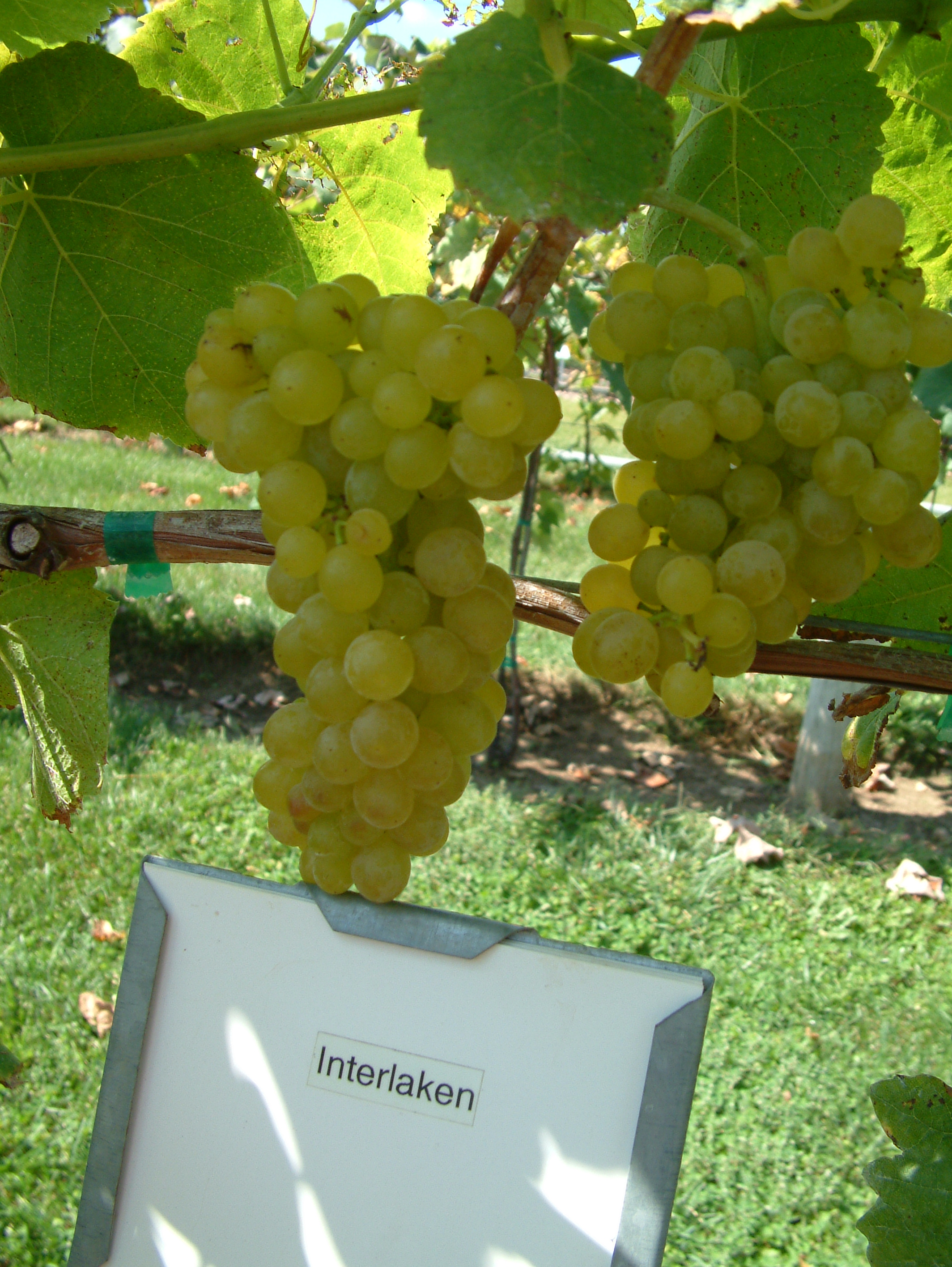 Interlaken - White Seedless Table Grape