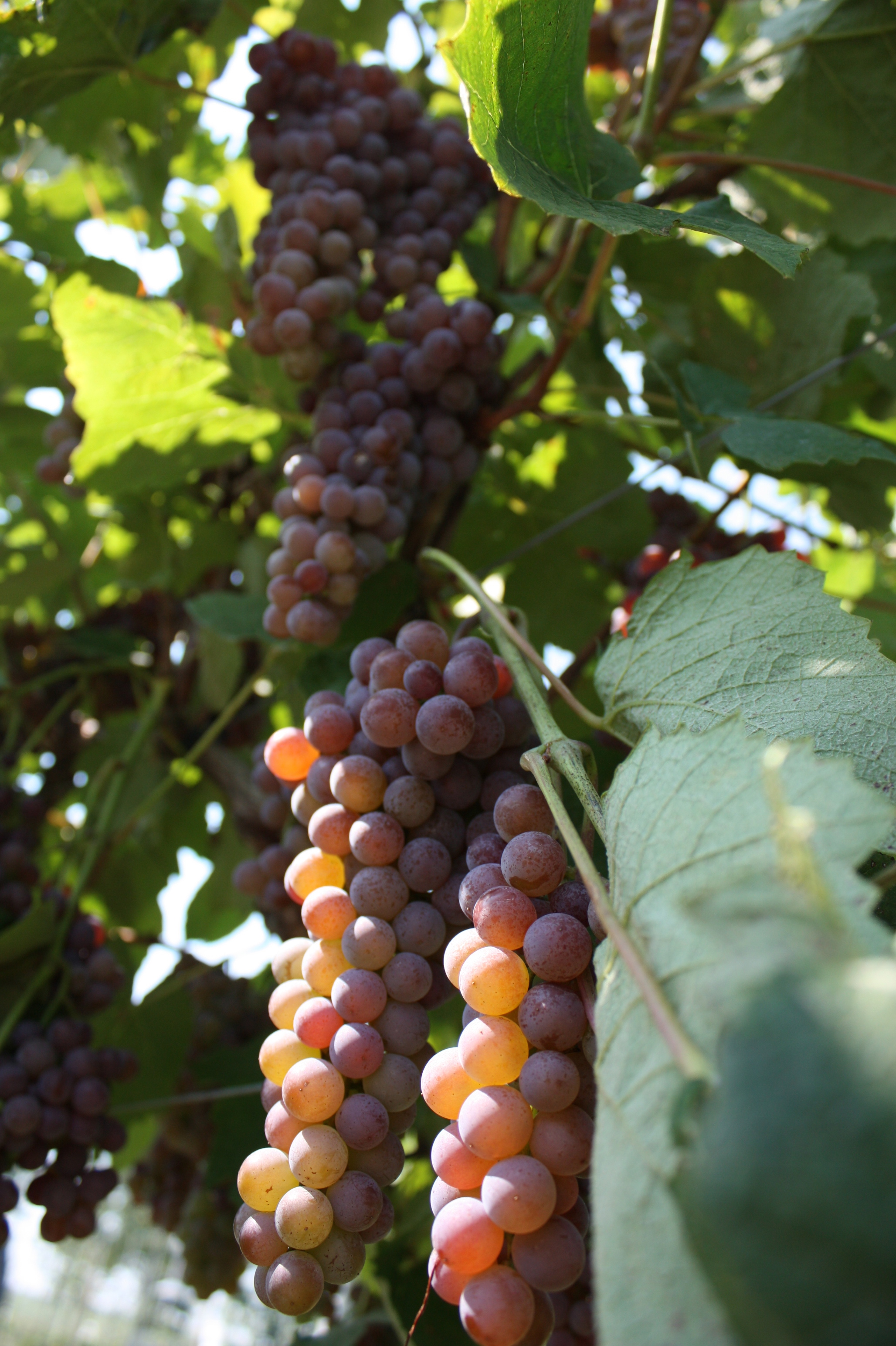 Canadice - Seedless Table Grape
